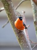 Bullfinch in winter day. The male bullfinch sits on a mountain ash branch Stock Photos