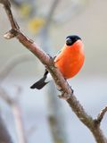 Bullfinch in winter day. The male bullfinch sits on a mountain ash branch Stock Photography