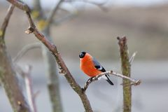 Bullfinch in winter day. The male bullfinch sits on a mountain ash branch Stock Images