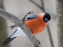 Bullfinch in winter. The male a bullfinch sits on a mountain ash branch Royalty Free Stock Photo
