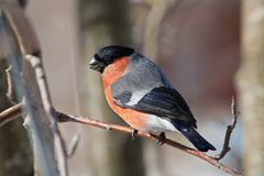 Bullfinch in winter. The male a bullfinch sits on a mountain ash branch Stock Images