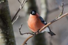 Bullfinch in winter. The male a bullfinch sits on a mountain ash branch Stock Photo