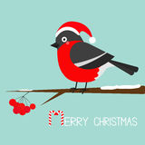 Bullfinch winter red feather bird sitting on rowan rowanberry sorb berry tree branch. Santa hat. Merry Christmas greeting card. Ca Stock Photos