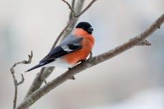 Bullfinch am Wintertag Lizenzfreie Stockbilder
