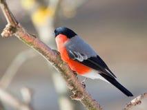 Bullfinch am Wintertag Lizenzfreies Stockbild