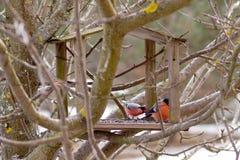 Bullfinches σε έναν τροφοδότη στοκ εικόνα με δικαίωμα ελεύθερης χρήσης