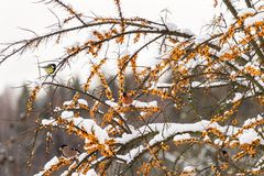 Bullfinches и titmouse на крушине моря Стоковая Фотография