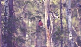 2 bullfinches на ветви дерева Стоковые Изображения