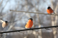 bullfinches 3 Стоковые Фотографии RF