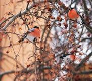 bullfinches Стоковое Изображение RF