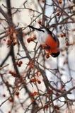 bullfinches Стоковое Фото