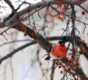 bullfinches Стоковая Фотография RF