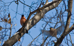 bullfinches Foto de Stock Royalty Free