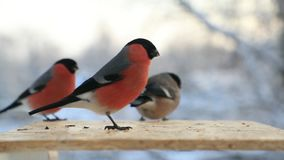 Bullfinches in a bird`s trough in winter close-up. Slow motion video.  stock video footage