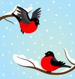Bullfinches on a branch in the winter Stock Photos