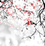 Bullfinches on branch winter background. Royalty Free Stock Images