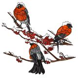 Bullfinches on the branches of mountain ash. Stock Photography