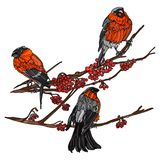 Bullfinches on the branches of mountain ash. Stock Image