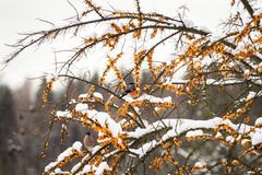 Bullfinches on branches of sea buckthorn Royalty Free Stock Images