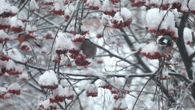Bullfinches eat berries red rowan on the tree in snow stock footage