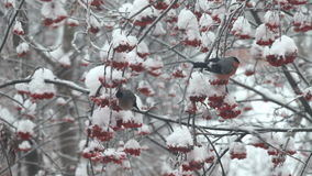 Bullfinches eat berries red rowan on the tree in snow stock video footage
