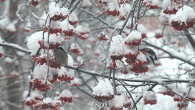 Bullfinches eat berries red rowan on the tree in snow stock video