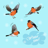 Bullfinches in flight on a blue background. Winter time Stock Photos