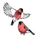 2 bullfinches isolated on white background. 2 hand drawn bullfinches isolated on white background. Vector illustration vector illustration