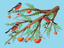 Bullfinches on a mountain ash. Royalty Free Stock Photography