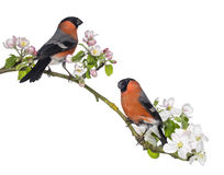 Bullfinches perched on a blossoming branch, isolated Royalty Free Stock Photos