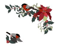 Bullfinches, poinsettia and Holly branches. Bullfinches and Christmas plants, Festive composition of poinsettia Holly and mistletoe with birds, vector royalty free illustration