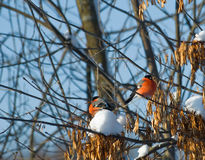 Bullfinches on a tree. Two иullfinches on a tree sit a back to each other Royalty Free Stock Image