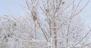 Bullfinches on the tree. Bullfinch sitting on a snowy tree stock video