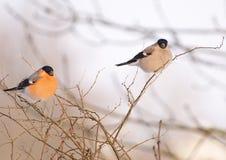 Bullfinchs eurasiáticos Imágenes de archivo libres de regalías