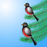 Bullfinchs sit on the branches of fir-tree. Vector  illustration Royalty Free Stock Photo