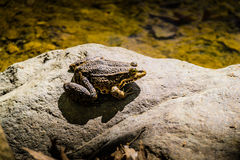 Bullfrog από την όχθη της λίμνης Στοκ Εικόνες