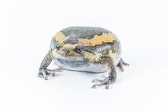 Bullfrog αυτό στοκ εικόνες με δικαίωμα ελεύθερης χρήσης