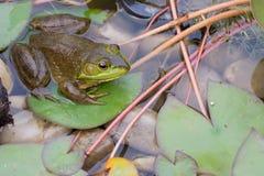 Bullfrog σε ένα μαξιλάρι της Lilly Στοκ Εικόνες