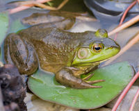 Bullfrog σε ένα μαξιλάρι της Lilly Στοκ φωτογραφία με δικαίωμα ελεύθερης χρήσης