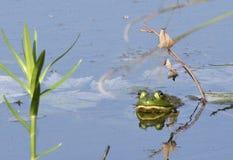 Bullfrog σε μια λίμνη στοκ φωτογραφία