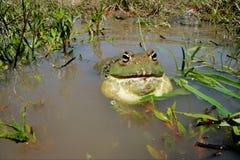 bullfrog Африки южный Стоковая Фотография