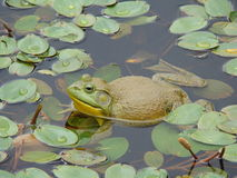 Bullfrog. In the Lily pads royalty free stock photos