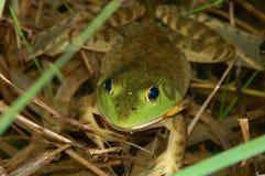 bullfrog стоковая фотография