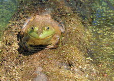 Bullfrog. A bullfrog perched on a floating log royalty free stock photography