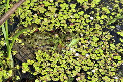 Bullfrog. A bullfrog well concealed in a swamp royalty free stock images