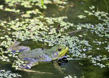 Bullfrog. A bullfrog floating in a green marsh stock photography