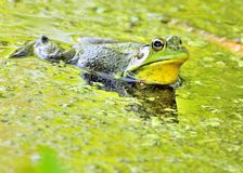 Bullfrog. A bullfrog floating in a green swamp royalty free stock photos