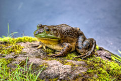 Bullfrog Royalty Free Stock Photography