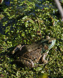 Bullfrog. A bullfrog sitting in a swamp waiting on prey royalty free stock image