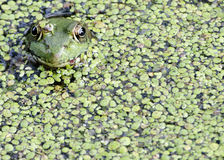 Bullfrog. A bullfrog well concealed in a swamp royalty free stock photos